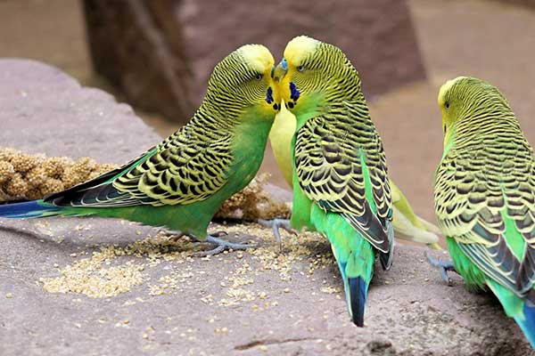 Budgies on a rock eating millet sprays