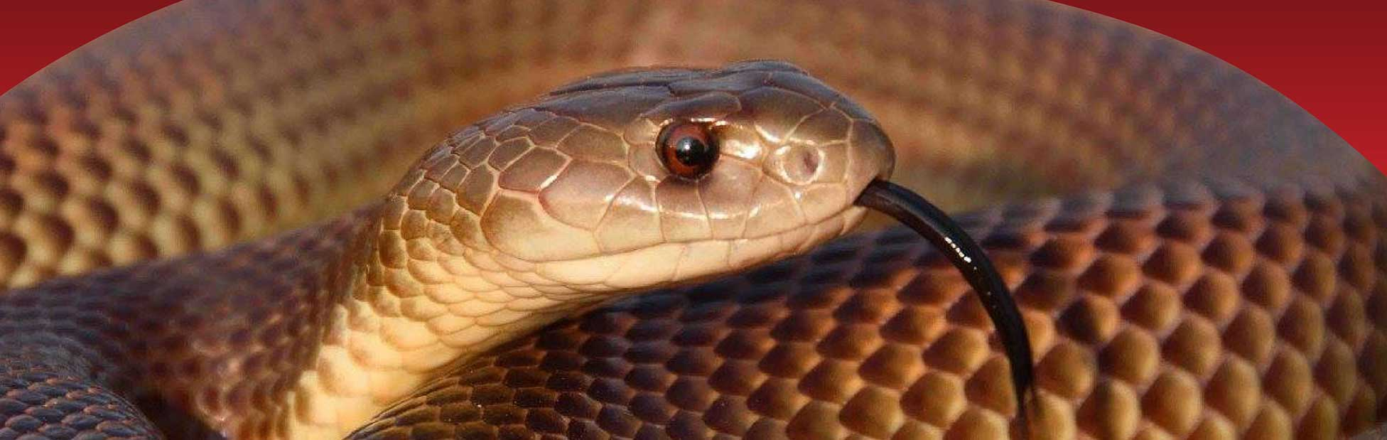 Close up of brown snake with tongue out