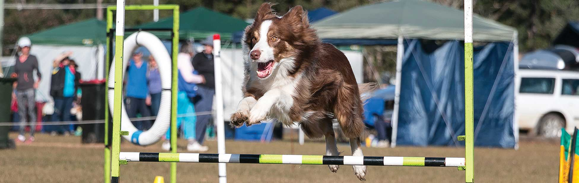 Brown and White Border Collie Jumping
