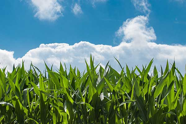 Corn field with blue sky above it