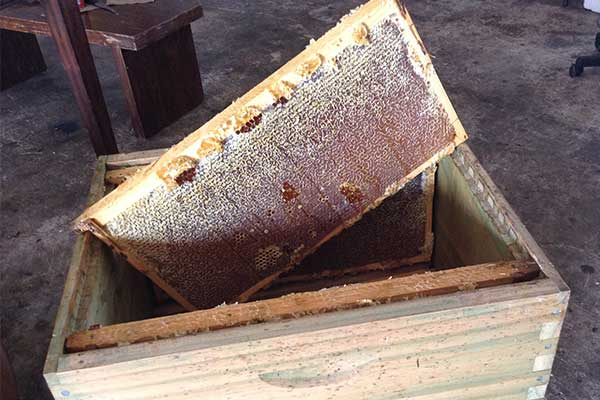 A fresh honeycomb from a bee hive