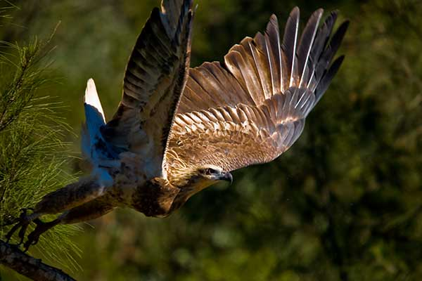 A Wedgetail Eagle taking flight off a tree branch